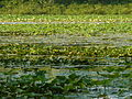 Little Africa - lotuses - P1100022.JPG
