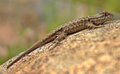 Lizard on a rock near Yuba river -2012-04-08T17 08 18.png