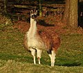 Llamas (33621974362).jpg