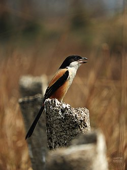 Long Tailed Shrike at Basipota.jpg