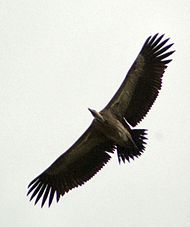 Long billed vulture.jpg