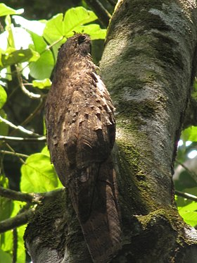 Long tailed potoo 2.jpg