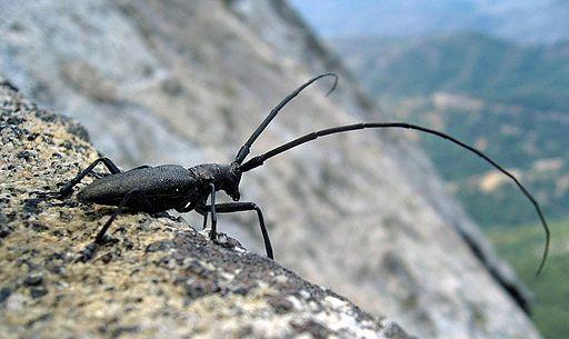 Longhorn Beetle Whitespotted Sawyer USA