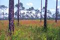 Longleaf pine savannah msscnwr.jpg