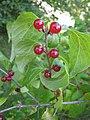 Lonicera maackii fruits.jpg