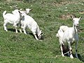Lopar The first lady of lopar with children me...be...me...me....goats (Koze pasu) - panoramio.jpg