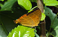 Loxura atymnus - Yamfly 13.JPG