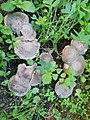 Lyophyllum littoralis ARG.jpg