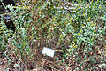 Lythrum salicaria botanic garden 2.jpg