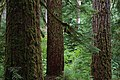 MACK CREEK OLD GROWTH AT HJ ANDREWS-WILLAMETTE (23826382812).jpg