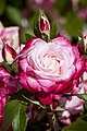 Mañana último día para votar tu rosa favorita en el Concurso Popular Rosa de Madrid 04.jpg
