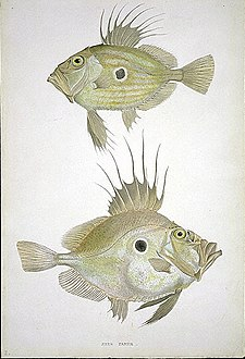 MacGillivray, William John Dory.jpg