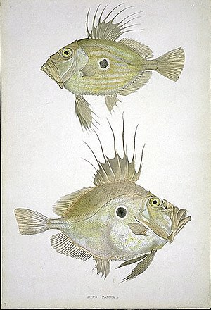 John Dory. Drawing by William MacGillivray.