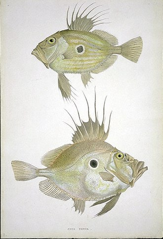 John Dory - John Dory, by William MacGillivray, c. 1840