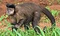 Macaco-prego (Sapajus nigritus).jpg