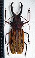 Macrodontia cervicornis. Male 155 mm 2.JPG