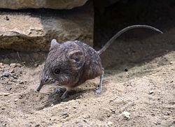 Le macroscélide à oreilles courtes mesure environ 10 cm de long (sans la queue). Il vit dans les déserts