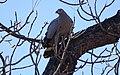 Madagascar harrier-hawk 1.jpg