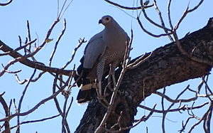 Madagascan harrier-hawk - near Mahaboboka