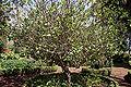 Madeira, Palheiro Gardens - Gewürzstrauch (Calycanthus allspice, USA) IMG 2283.JPG