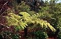 Madeira-22-Baumfarn-2000-gje.jpg
