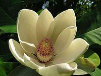 Magnolia au Jardin Jungle Karlostachys.jpg