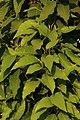 Magnolia champaca leaves from Villupuram dt IMG 3899.jpg