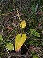 Maianthemum bifolium 2017-09-16 3998.jpg