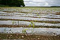 Maize growing through plastic - geograph.org.uk - 438349.jpg