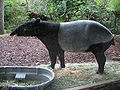 Malayan Tapir standing profile.jpg