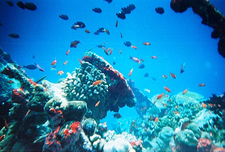 The rich diversity of marine life inhabiting coral reefs attracts bioprospectors. Many coral reefs are overexploited; threats include coral mining, cyanide and blast fishing, and overfishing in general. Maldivesfish2.jpg