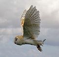 Male Barn Owl 4 (6796262454).jpg