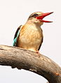 Male Brown-hooded Kingfisher, Halcyon albiventris singing for his mate, Tzaneen area, Limpopo, South Africa (14690634698).jpg