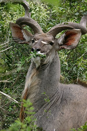 Kudu - A male greater kudu browsing