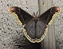 Male Promethea Silkmoth, part II.jpg