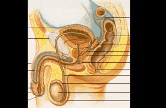 Prostate massage - Male genital anatomy