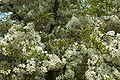 Malus sieboldii B.jpg