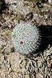 Mammillaria haageana - Photo (c) yakovlev.alexey, some rights reserved (CC BY-SA)