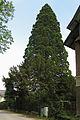Mammutbaum in Neulengbach 2012-05 1 ehm NÖ-Naturdenkmal PL-149.jpg