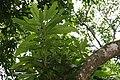 Mangifera indica 31zz.jpg