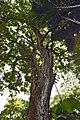 Mango tree, Hawaii Tropical Botanical Garden (32830300474).jpg