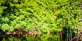 Mangrove Canal des rotours.jpg