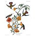 Mangrove Hummingbird.jpg