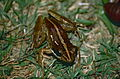Mantellid Frog (Mantidactylus sp.) (9644970705).jpg