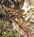 Mantis religiosa. Finishing the remains of a cricket - Flickr - gailhampshire.jpg