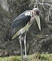 Marabou Stork Miami Metrozoo.jpg