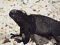 Marine Iguana (A. c. nanus), male, Genovesa Island.jpg