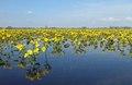 Marsh Marigold - Dotterbloem - Caltha palustris.tif