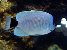 Masked Angelfish (Genicanthus personatus) - GRB.JPG
