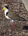 Masked Lapwing, Scarborough Marina, Queensland (1385533210).jpg